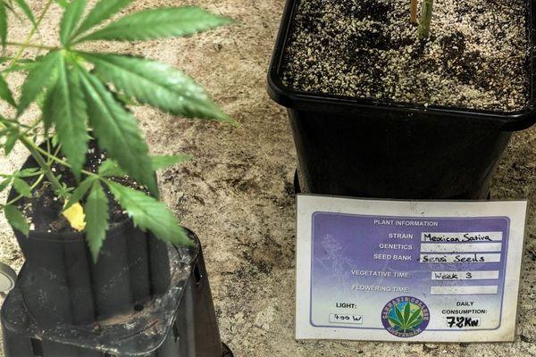 Des plants de cannabis photographiés dans la cave de The Cannabis Company à Amsterdam, en février 2017.