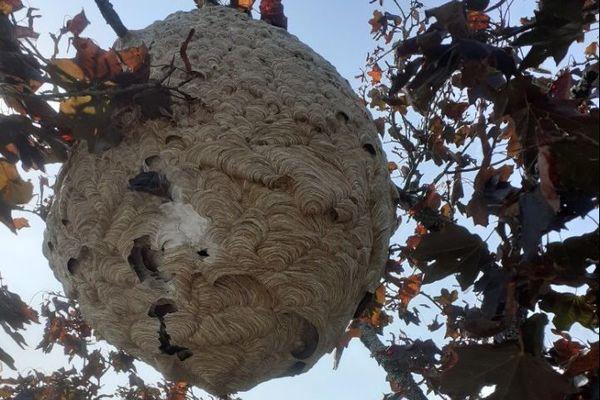 Le nid de frelons asiatiques, exceptionnel par sa taille de 2m de largeur, trouvé à Pontivy abritait une colonie de 1000 individus. Comme à son habitude les frelons l'avaient construit autour d'une branche en mâchant de l'écorce de bois.