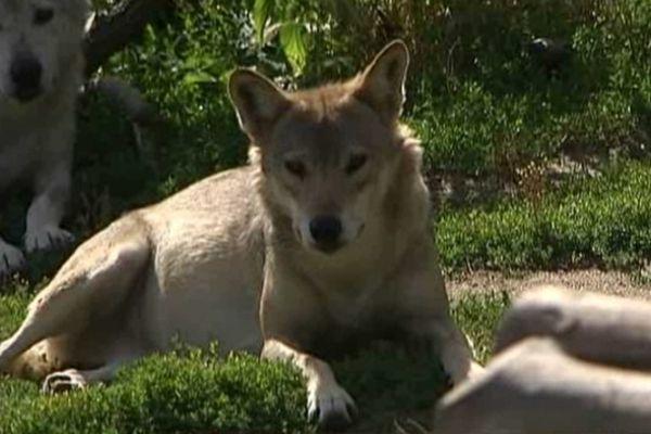 Les loups en Lozère - archives