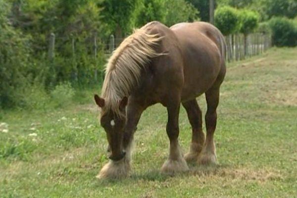 Le cheval de trait poitevin est une espèce en péril.