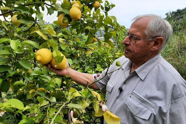Pierre Ciabaud, producteur de citron IGP de Menton.