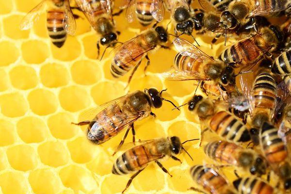 Près de 40 % de notre alimentation (fruits, légumes, oléagineux) dépend de l'action fécondatrice des abeilles.