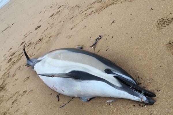 Dauphin échoué sur la plage à St Jean-de-Monts, le 9 février 2020