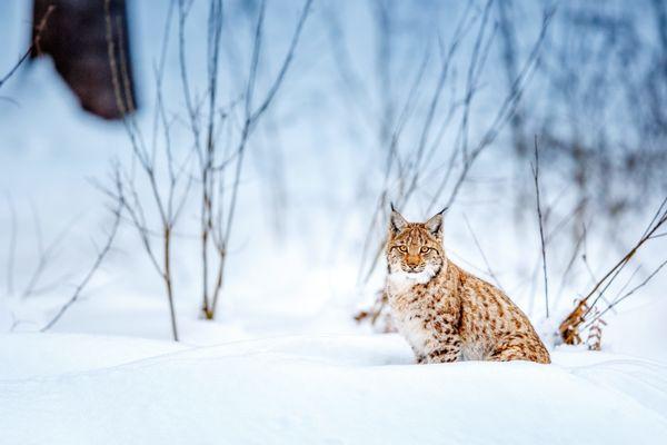 Le lynx a failli disparaître d'Europe. C'est une espèce protégée.