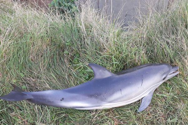Piégé dans l'étier le delphineau n'a pas survécu ce lundi 4 janvier 2020
