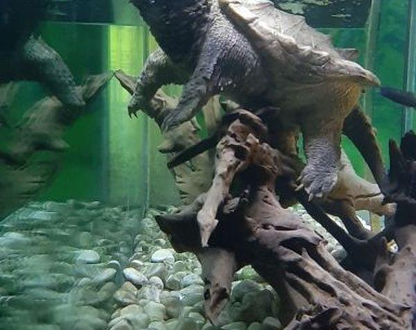 Photo de la tortue alligator en position d'attaque prise en 2021 au village des tortues de Carnoules.