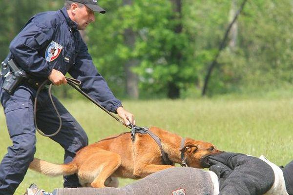 Chien policier à l'entraînement.