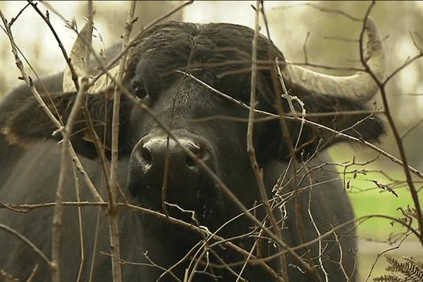 Une des bufflonne de l'élevage de Fanny Bertrand, Le Clos du Val à Plédéliac (22)