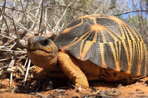 Observation d'une tortue rayonnée dans la nature à Madagascar par l'équipe de chercheurs du Var.