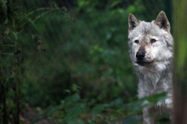 """""""Le secrets des loups"""" la nouveauté du Parc des légendes le sentier des Daims"""