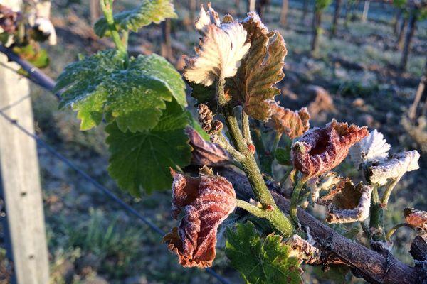 Le gel fragilise la feuille de vigne