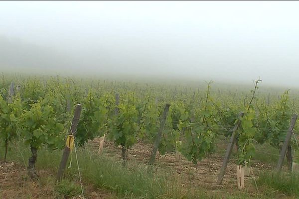 200 hectares de vignes sont réparties entre Tournus, Chardonnay et Ozenay.