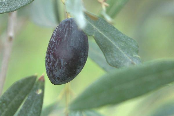 Chaque olive donne le goût particulier de l'huile