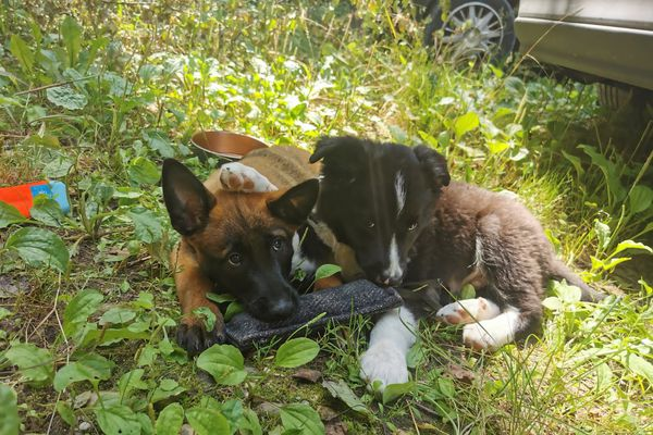 Juillet 2021 : Sonic et Sayen, les deux futures recrues du groupe cynotechnique des sapeurs-pompiers de l'Ain. Premiers jours à l'école des chiens de secours.