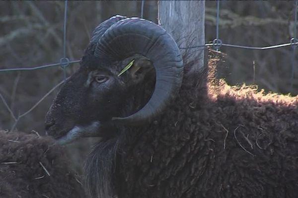 Les moutons de Wimereux, des tondeuses écolos ?