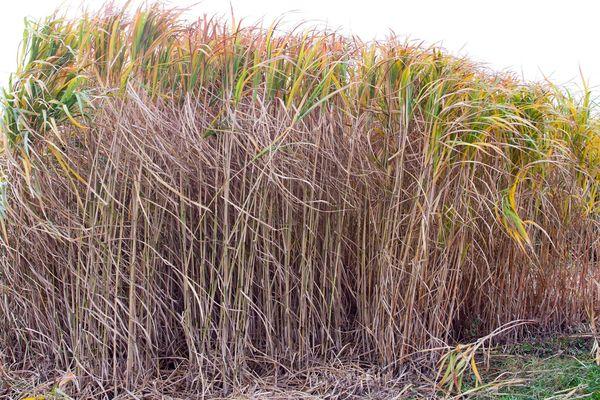 Des plants de miscanthus, une plante qui permet de faire du plastique sans pétrole.