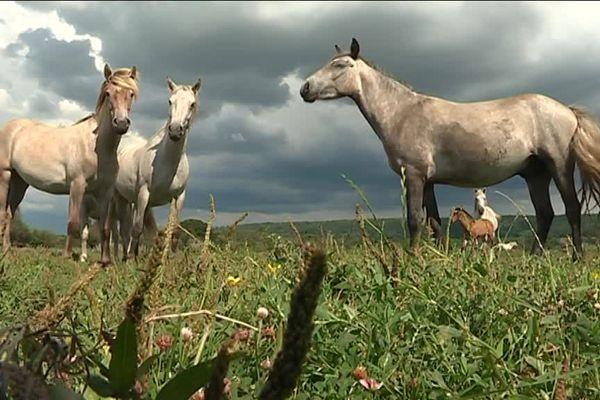 L'impact humain dans le Marais Vernier se veut le plus faible possible. Les chevaux de camargues y sont sauvages.