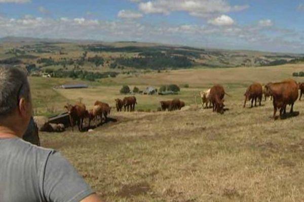 A Allanche, les récoltes de fourrage ont payé un lourd tribut à la sécheresse. Et il faut déjà puiser dans les stocks pour nourrir les vaches.