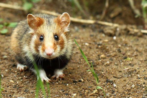 grand hamster d'Alsace