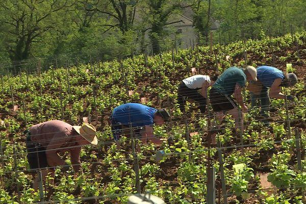"""En Côte d'Or, des dizaines de volontaires ont été embauchés dans les vignes grâce à la plate-forme """"Des bras pour ton assiette"""""""