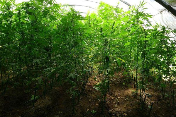 Corbères (Pyrénées-Orientales) - 1.031 plants de cannabis saisis par la gendarmerie et incinérés - juin 2018.