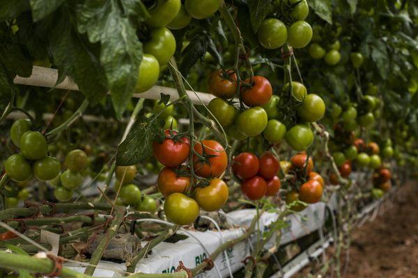 Un virus végétal détecté sur les tomates d'une exploitation du Finistère