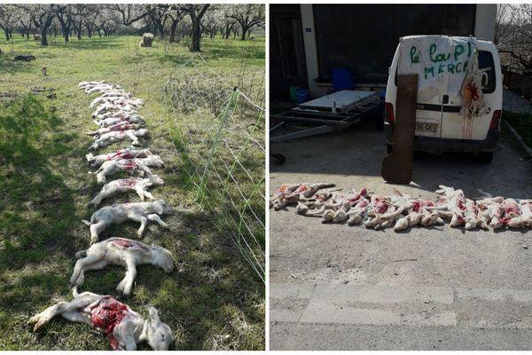 Une vingtaine d'agneaux ont été tués, mais par qui ?