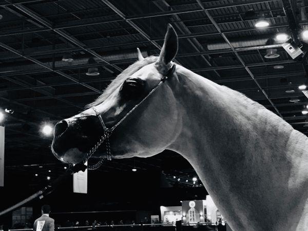 La tête bien spécifique du cheval arabe
