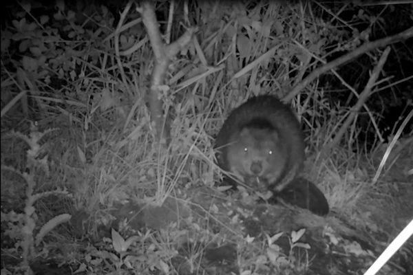 Le castor d'Eurasie est un animal plutôt nocturne. Le conservatoire d'espaces naturel de Champagne-Ardenne a installé des caméras aux tourbières de la Bar pour observer au plus près l'animal.