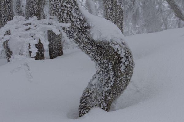 Un hêtre en forme de crosse. D'année en année, sa croissance a été déviée par la neige.