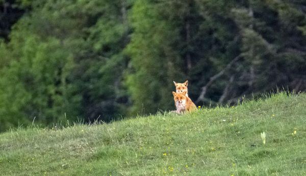 La fédération de chasse du Jura assure que moins de 70 renards sont abattus durant les tirs d'été, autorisés depuis 2007 pour cette espèce.