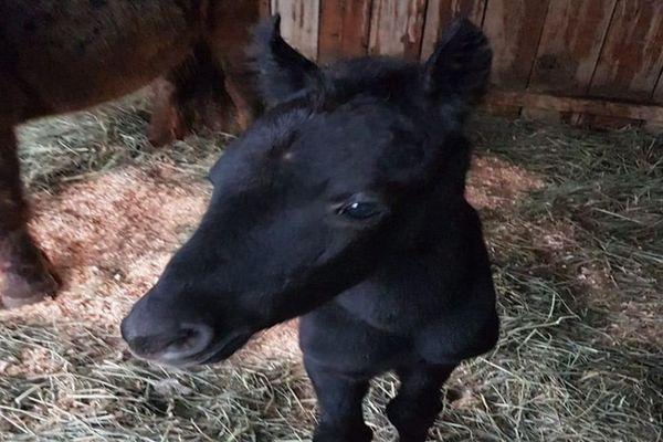Krack, le poulain de 7 mois a été retrouvé gravement blessé - 2020.