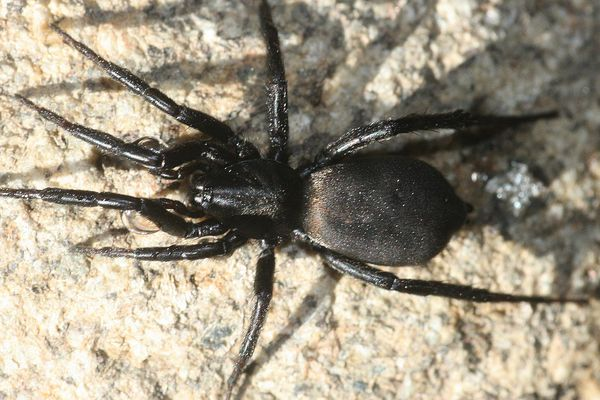 La Zelotes egregioides mesure 6 millimètres de long. Cette espèce discrète ne sort que la nuit pour chasser ses proies au sol.
