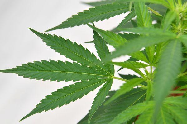 Un plant de cannabis - illustrations