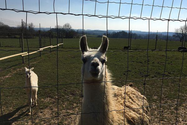 Les lamas ne sont pas farouches.