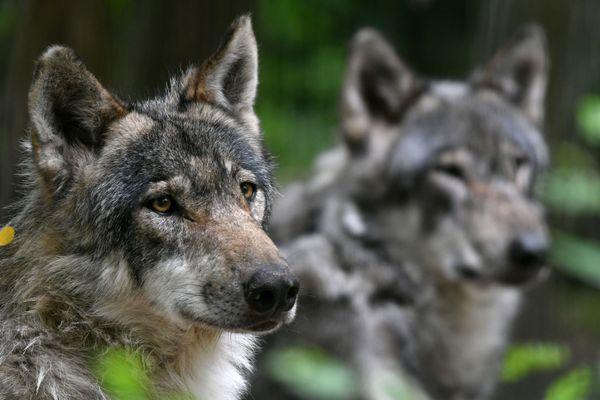 Le nombre de tirs d'abattage de loups pourrait se maintenir en 2021.