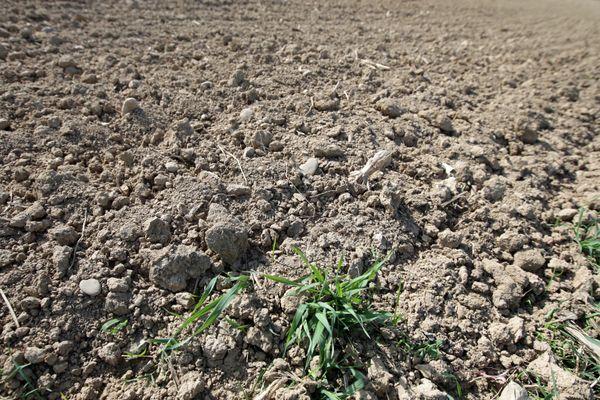 Un champ victime de la sécheresse dans le Kochersberg.