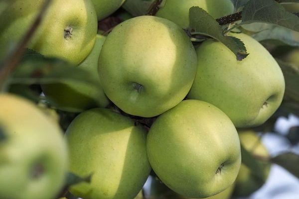 L'arboriculture du Limousin manque de mains pour ramasser les pommes