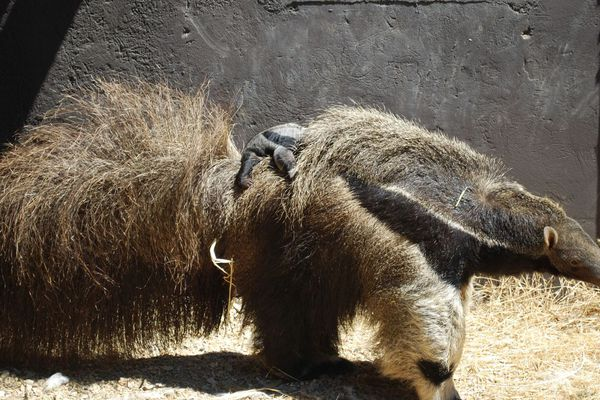 Une mère tamanoir et son bébé agrippé sur le dos au zoo de la Barben (Bouches-du-Rhône).