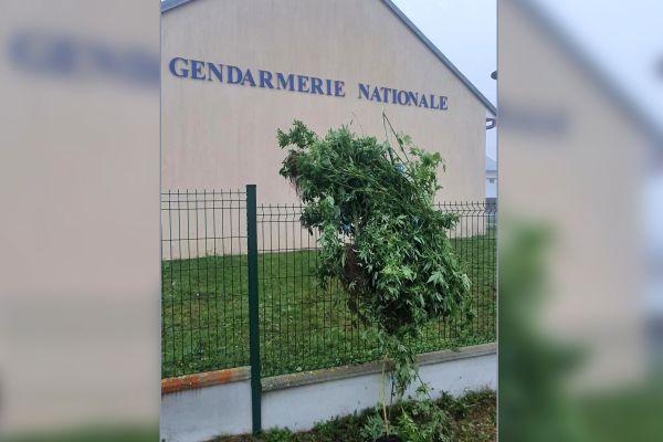 Des pieds de cannabis ont été découverts accrochés au grillage de la gendramerie à Cérilly (Allier).
