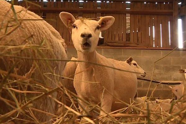 Les moutons texel de Christophe Péry, une race hollandaise