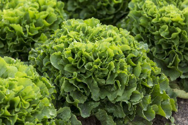 Salade chicorée scarole.