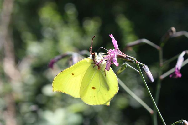 Au printemps, le papillon citron fait partie des espèces facilement observables en Haute-Marne.