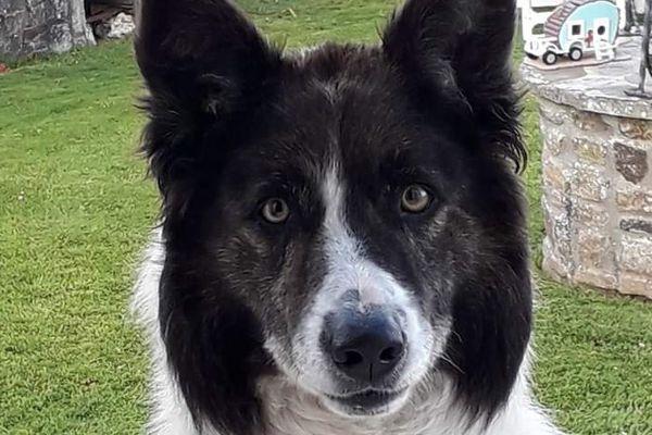 Moggly border-collie de 5 ans était un chien en pleine santé.
