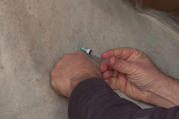 Contre la rhinopneumonie, la vaccination des chevaux de compétition est obligatoire
