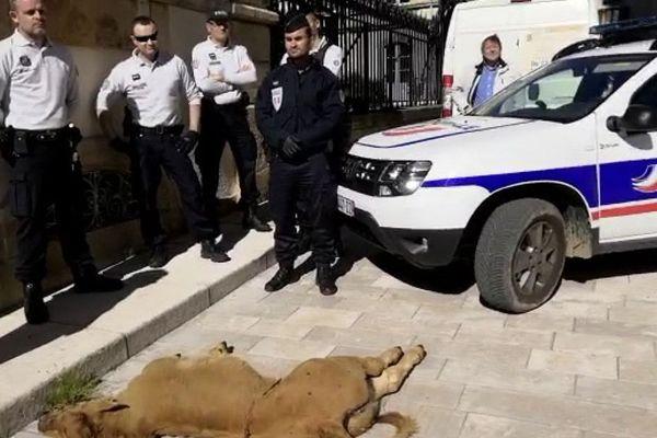 Le syndicat Coordination rurale, qui soupçonne le loup, a filmé la carcasse du veau déposée devant la préfecture de Mende.