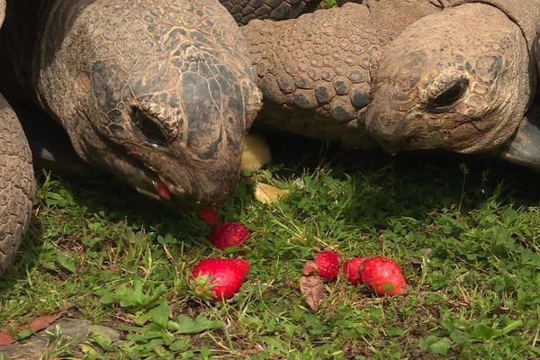 Sorède (Pyrénées-Orientales) - 2 têtes de tortues géantes de 240 kilos chacunes - 2020.