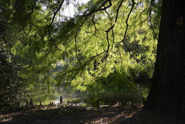 L'ombre sous un cyprès des étangs et ses pneumatophores (racines aériennes pointées vers le haut)