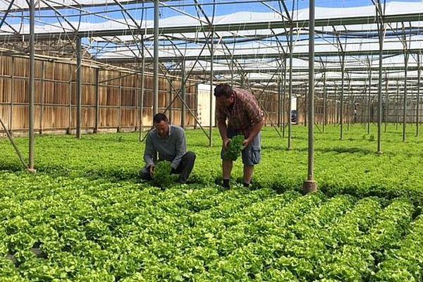 Perpignan - des serres et des plantations de salades - avril 2017.