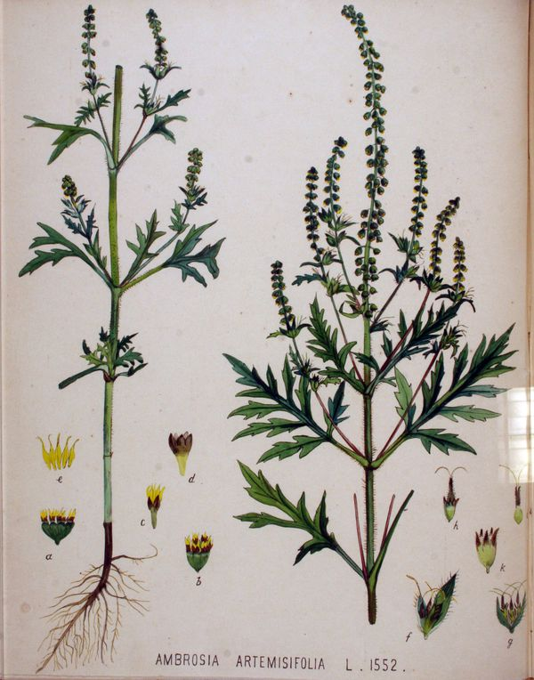Ambrosia artemisifolia